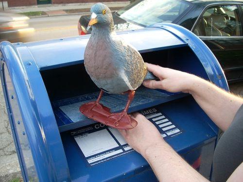 Kimberly pigeon